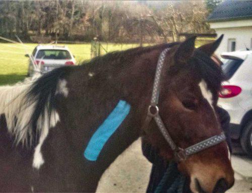 Craniosacrale Therapie Pferd